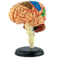 Головной мозг человека. Анатомическая модель