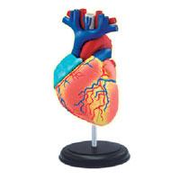 """Анатомическая модель """"Сердце человека"""""""