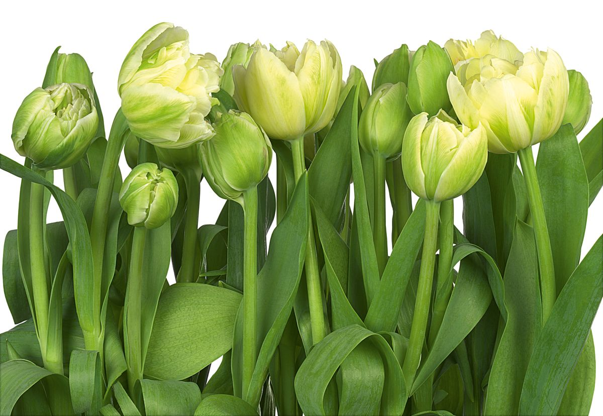 Фотообои цветок тюльпана
