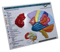 Brain Model & Puzzle – Anatomy and Functional Areas of the Brain все цены
