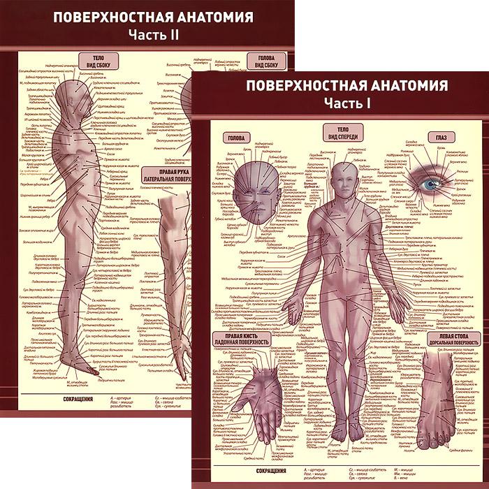 цены Поверхностная анатомия. В 2 частях. Плакат