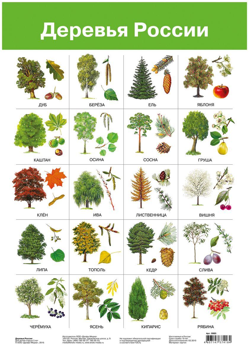 Дрофа-Медиа Обучающий плакат Деревья России