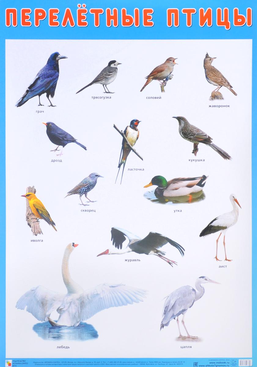 Перелётные птицы. Плакат зимующие птицы плакат
