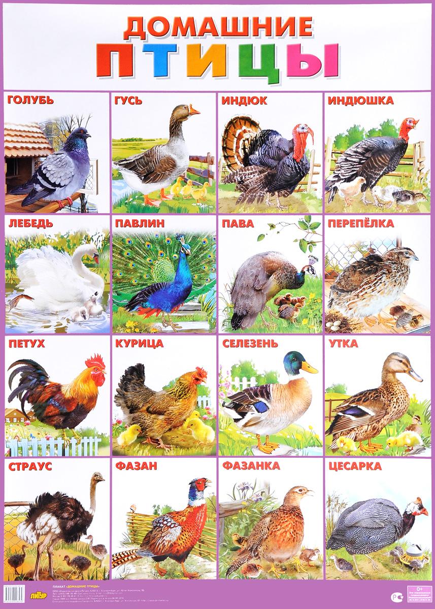 Домашние птицы. Плакат