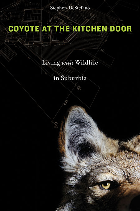Фото Coyote at the Kitchen Door – Living with Wildlife in Suburbia