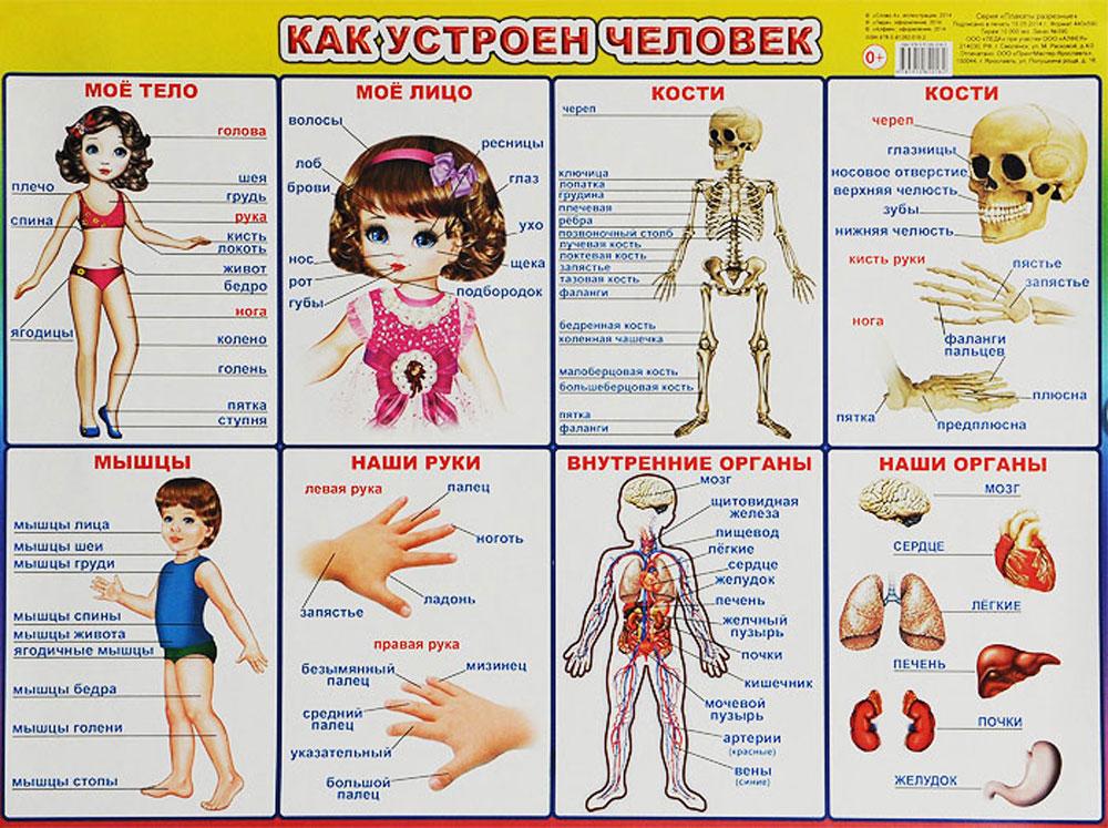 Алфея Обучающий плакат Как устроен человек обучающие плакаты алфея плакат мебель