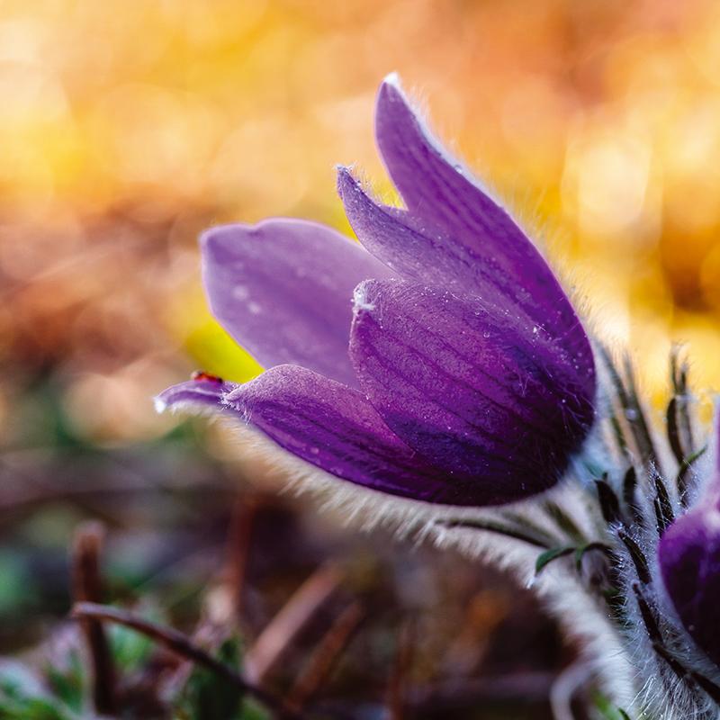 Картина Postermarket Фиолетовый цветок, 30 х 30 смAG 30-38Картина Postermarket Фиолетовый цветок прекрасно подойдет для декора интерьера различных помещений. Постер представляет собой изображение цветка, выполненное в технике фотопечать.Картина для интерьера (постер) - это современное и актуальное направление в дизайне помещений. Ее можно использовать для оформления любых помещений (дом, квартира, офис, бар, кафе, ресторан или гостиница).работоспособность.Правильное оформление интерьера создает благоприятный психологический климат, улучшает настроение и мотивирует. Размер картины: 300 x 300 мм.