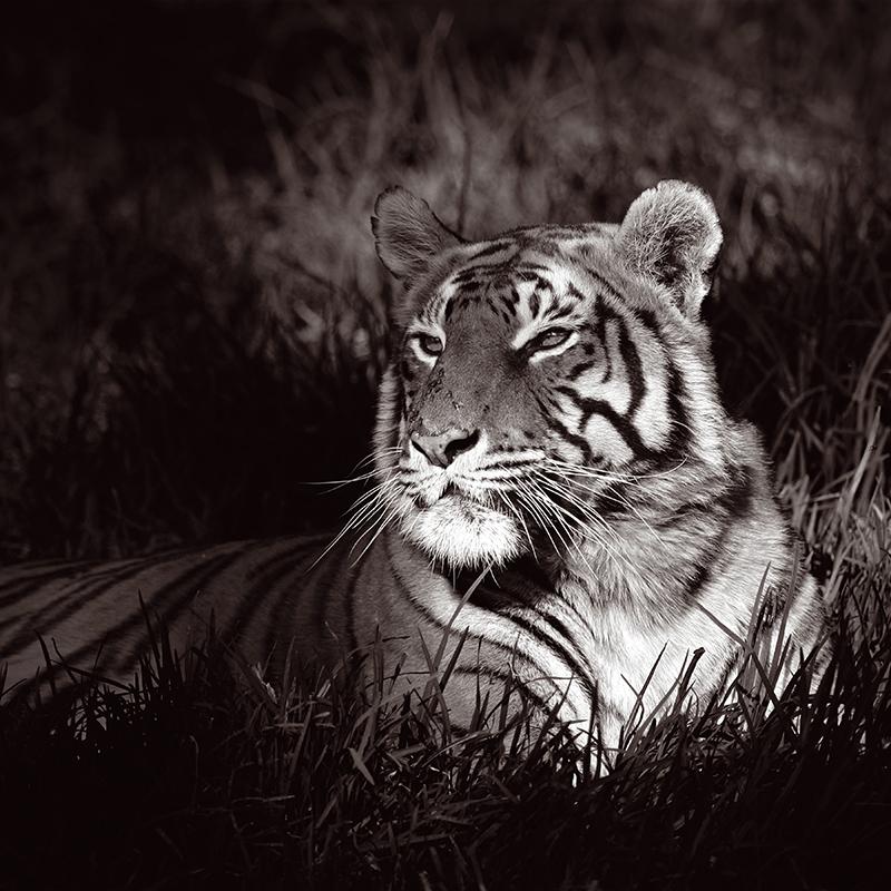 Картина Postermarket Бенгальский тигр, 30 х 30 см картины в квартиру картина sunrise 35х77 см