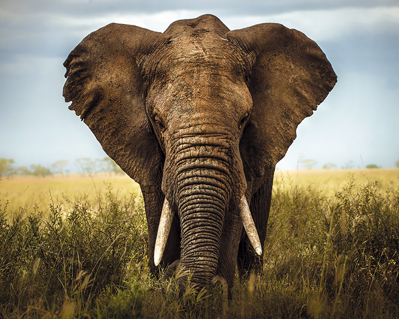 Картина Postermarket Индийский слон, 40 х 50 см. AG 40-29AG 40-29