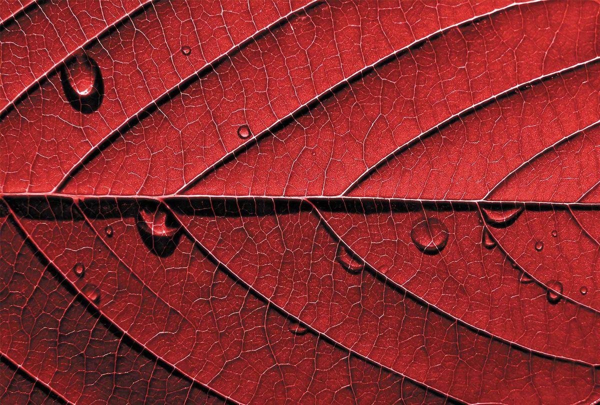 Фотообои Milan Красный лист, текстурные, 400 х 270 см. M 413m 413Виниловые обои горячего тиснения на флизелиновой основе MILAN — дизайнерская коллекция фотообоев и фотопанно европейского качества, созданная на основе последних тенденций в мире интерьерной моды. Еще вчера эти тренды демонстрировались на подиумах
