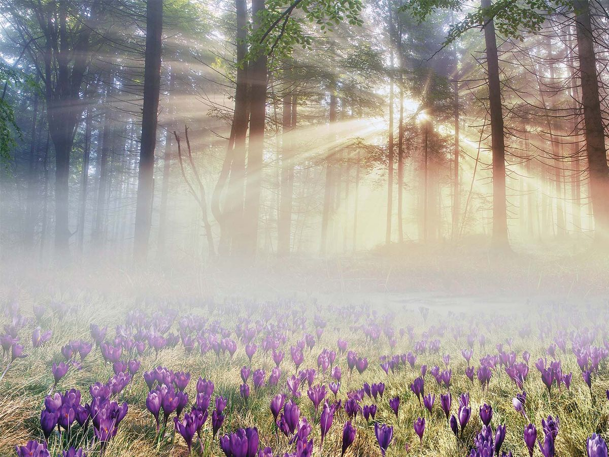Фотообои Milan Утро в лесу, текстурные, 200 х 135 см. M 638 фотообои milan мостик у цветущей вишни текстурные 200 х 135 см m 629