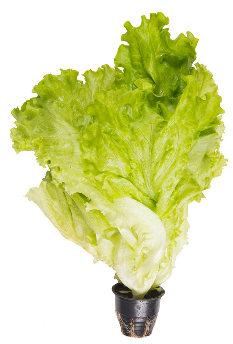 Зеленый сад Салат в горшочке, 100 г31895Лечебные свойства салатных листьев проявляются: - в улучшении состава и качества крови; - в защите от анемии; - в усилении иммунной системы организма; - в эффективном выведении солей из организма; - в устранении вредного холестерина; - в снижении уровня сахара в крови; - в укреплении кровеносной системы.