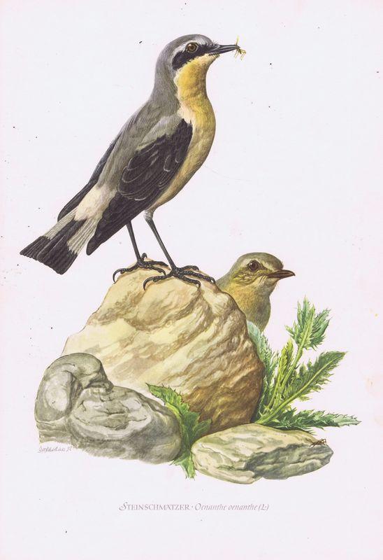 Птицы. Обыкновенная каменка. Офсетная литография. Германия, Гамбург, 1953 год