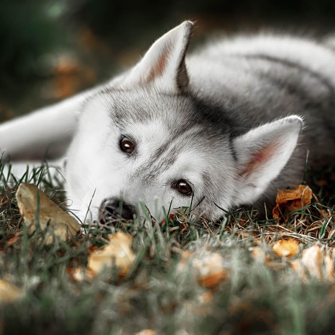 Картина на стекле Postermarket Хаски, 30 x 30 смAG 30-63Сибирский хаски – собака с уникальной красивой внешностью, являющаяся мечтой многих любителей-собачников. Красив и обаятелен. Для настоящих любителей.