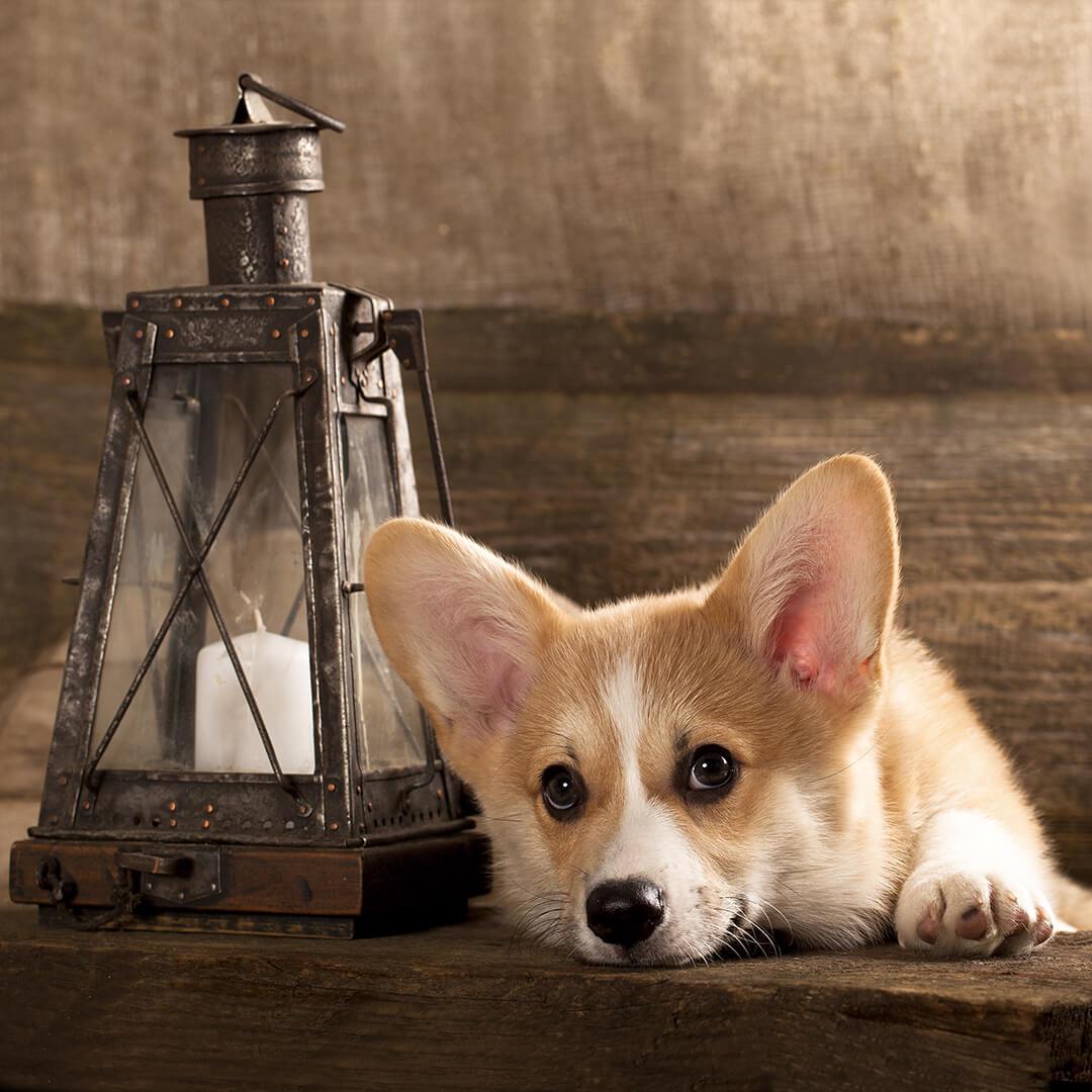 Картина на стекле Postermarket Корги, 30 x 30 смAG 30-65Вельш-корги пемброк (Welsh Corgi Pembroke) — интересная и необычная порода собак, которая была выведена в Уэльсе, и стала популярна в нашей стране относительно недавно. Собака — символ 2018 года.