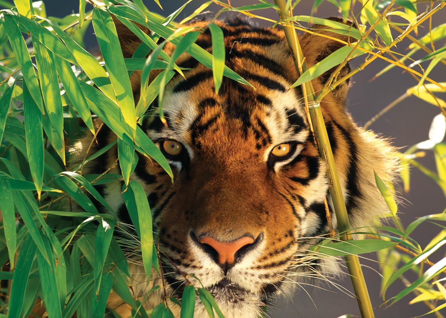 Картина на стекле Postermarket Тигр в бамбуковом лесу, 50 х 70 смAG 50-01Тигр – кошка с особой грацией. Его движения плавны, ловки, быстры, он умеет двигаться бесшумно и аккуратно. Как у истинного хищника у него тонкий слух, отличное зрение, высокая прыгучесть, он хороший скалолаз и пловец. Отличное решение для подарка.