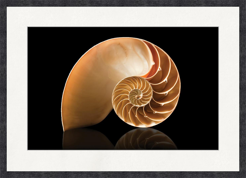 Картина Postermarket Наутилус, 50 x 70 смED-05Еще в индуистских мифах наутилус называли символом многих аспектов творения. Это также символ внутренней красоты в природе. Раковина наутилуса – один из известных природных объектов, символизирующих золотое сечение, которое широко применяется в искусстве, архитектуре и религиозной символике.