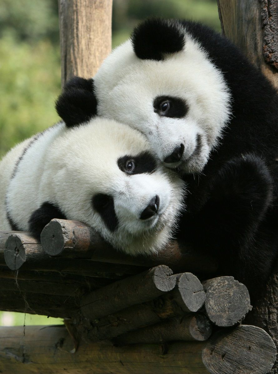 """Фотообои """"Панды"""". Эти милые создания никого не оставят равнодушным. Фотообои печатаются на чистом флизелине. Преимущества:• качественный, импортный, экологически чистый материал;• простота наклеивания;• длительный срок службы."""