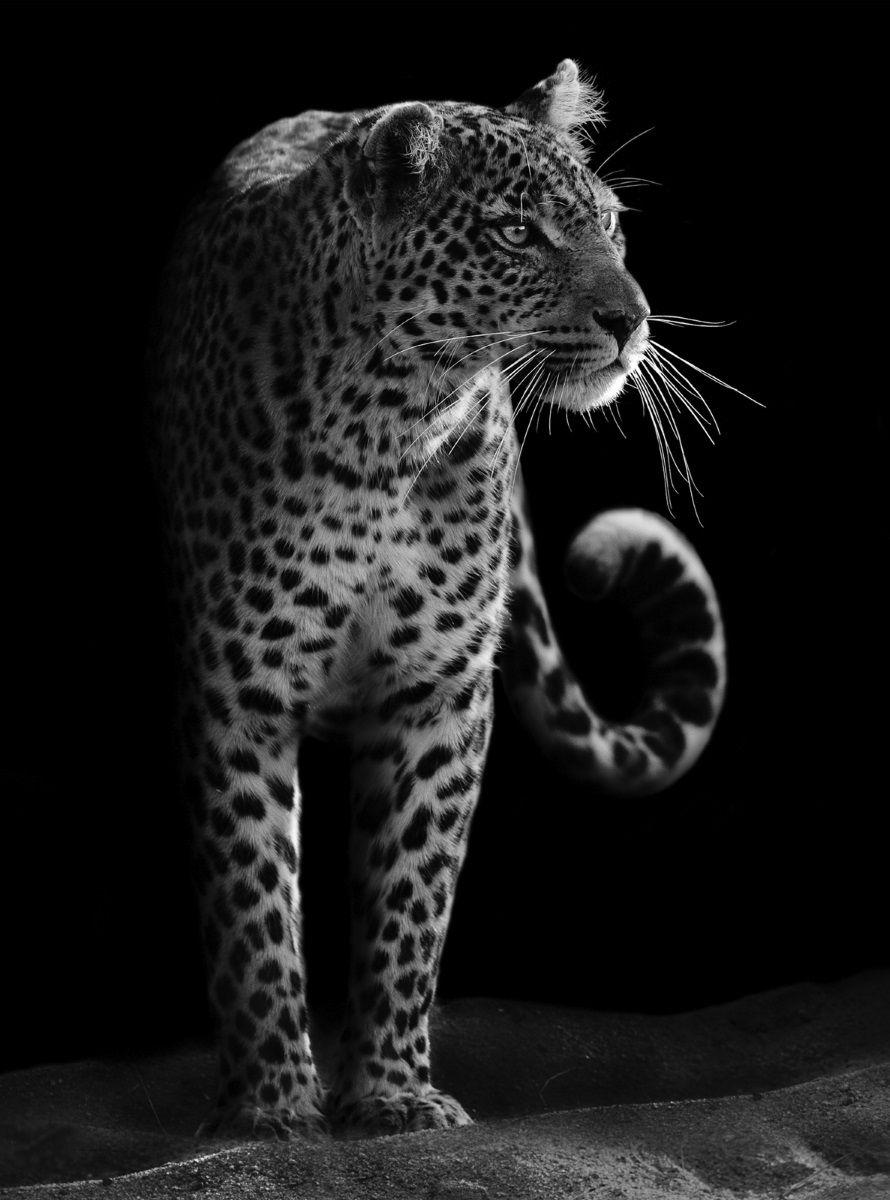 Фотообои флизилиновые Московская обойная фабрика Леопард, 200 х 270 см