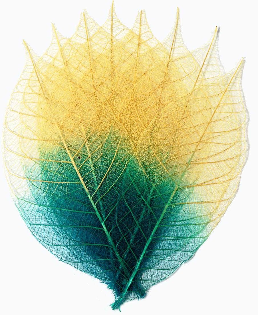 Набор скелетированных цветов ScrapBerrys, цвет: бирюзовый, длина 8 см, 8 шт694911Популярны при работе в техниках скрапбукинга и декупажа. Подойдут для украшения посуды, декоративных плафонов на светильники и др. Можно применять во флористике.Окрас листа: бирюзовый деграде.Длина одного листочка: 8 см.В наборе 8 шт.