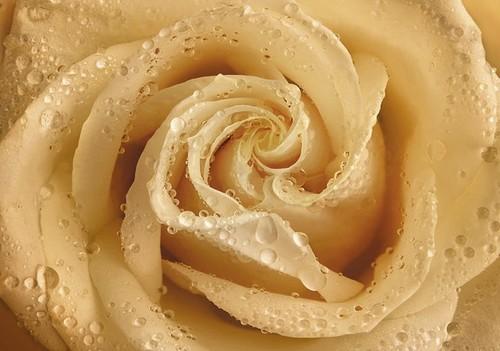 Фотообои Твоя Планета Premium. Утренняя роза, 4 листа, 194 х 136 см060625002Основа фотообоев Твоя Планета Premium. Утренняя роза - импортная бумага высокого качества и повышенной плотности с нанесенным на неё цветным фотоизображением. Технология сборки фрагментов в единую картину довольно проста. Это наиболее распространенный вид обоев, позволяющих создать в квартире (комнате) определенное настроение и даже несколько расширить оптический объем. Фотообои пользуются популярностью потому, что они недорогие и при этом позволяют получить массу удовольствий при созерцании изображения.Количество листов: 4. Размер (ШхВ): 194 см х 136 см.