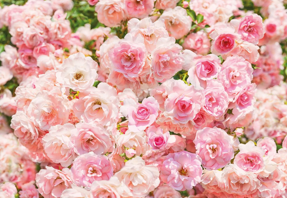 Фотообои Komar Роза, 3,68 х 2,54 мWS0474:180:254:050Бумажные фотообои известного бренда Komar позволят создать неповторимый облик помещения, в котором они размещены. Фотообои наносятся на стены тем же способом, что и обычные обои. Благодаря превосходной печати и высококачественной основе такие обои будут радовать вас долгое время. Фотообои снова вошли в нашу жизнь, став модным направлением декорирования интерьера. Выбрав правильную фактуру и сюжет изображения можно добиться невероятного эффекта живого присутствия.Ширина рулона: 3,68 м.Высота полотна: 2,54 м. Клей в комплекте.