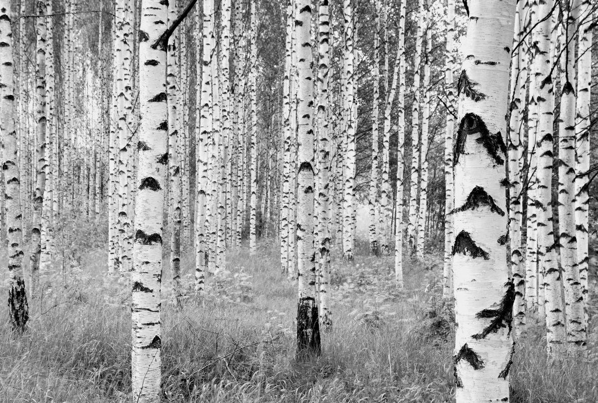Фотообои Komar Деревья, 3,68 х 2,48 мRG-D31SФлизелиновые фотообои известного бренда Komar позволят создать неповторимый облик помещения, в котором они размещены. Фотообои наносятся на стены тем же способом, что и обычные обои. Благодаря превосходной печати и высококачественной флизелиновой основе такие обои будут радовать вас долгое время.Фотообои снова вошли в нашу жизнь, став модным направлением декорирования интерьера. Выбрав правильную фактуру и сюжет изображения можно добиться невероятного эффекта живого присутствия. Ширина рулона: 3,68 м.Высота полотна: 2,48 м.