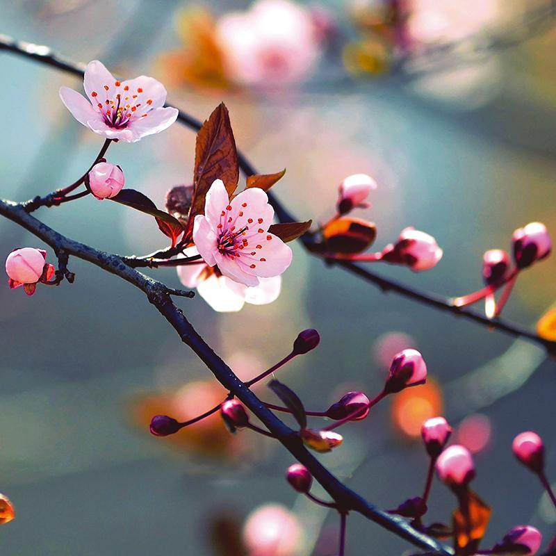 Картина Postermarket Японская вишня, 30 х 30 см4607161054796Картина Postermarket Японская вишня прекрасно подойдет для декора интерьера различных помещений. Постер представляет собой изображение ветки японской вишни, выполненное в технике фотопечать. Картина для интерьера (постер) - это современное и актуальное направление в дизайне помещений. Ее можно использовать для оформления любых помещений (дом, квартира, офис, бар, кафе, ресторан или гостиница). работоспособность. Правильное оформление интерьера создает благоприятный психологический климат, улучшает настроение и мотивирует.Размер картины: 300 x 300 мм.
