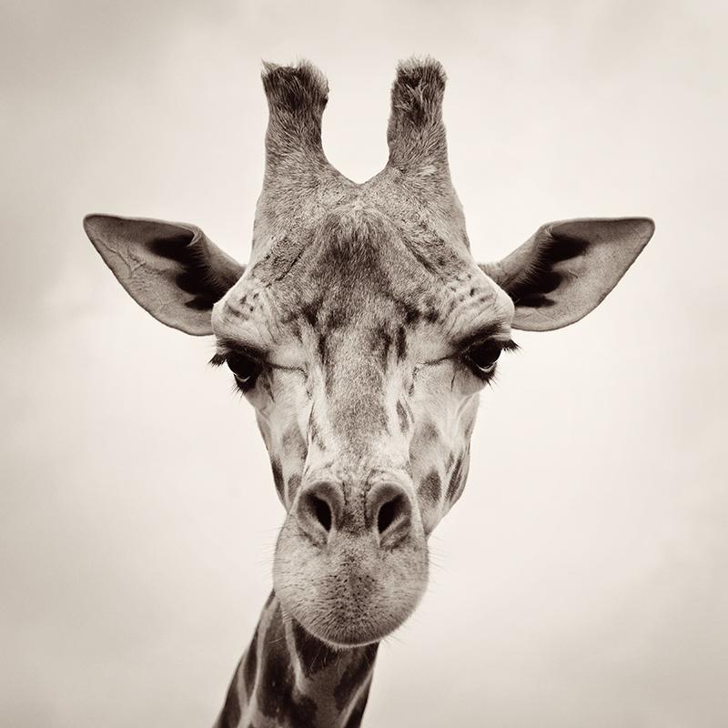 Картина Postermarket Жираф, 30 х 30 смAG 30-44Картина Postermarket Жираф прекрасно подойдет для декора интерьера различных помещений. Постер представляет собой изображение жирафа, выполненное в технике фотопечать. Картина для интерьера (постер) - это современное и актуальное направление в дизайне помещений. Ее можно использовать для оформления любых помещений (дом, квартира, офис, бар, кафе, ресторан или гостиница). работоспособность. Правильное оформление интерьера создает благоприятный психологический климат, улучшает настроение и мотивирует.Размер картины: 300 x 300 мм.