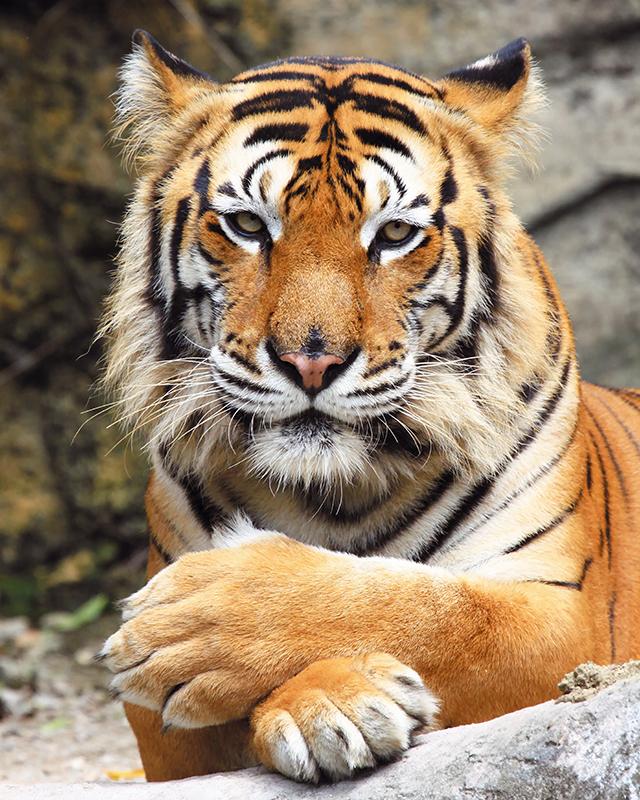 Картина Postermarket Бенгальский тигр, 40 х 50 см74-0060Картина Postermarket Бенгальский тигр прекрасно подойдет для декора интерьера различных помещений. Постер представляет собой изображение автомобиля, выполненное в технике фотопечать. Картина для интерьера (постер) - это современное и актуальное направление в дизайне помещений. Ее можно использовать для оформления любых помещений (дом, квартира, офис, бар, кафе, ресторан или гостиница). работоспособность. Правильное оформление интерьера создает благоприятный психологический климат, улучшает настроение и мотивирует.Размер картины: 400 x 500 мм.