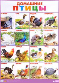 Домашние птицы. Плакат,